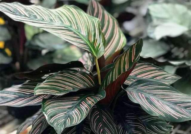 На закате это растение поднимает свои листья