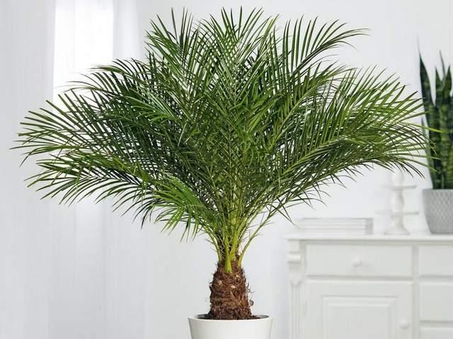 Такую пальму можно вырастить из косточки