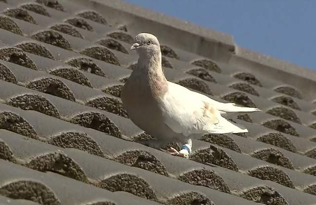 Птах Джо, який прилетів зі США до Австралії