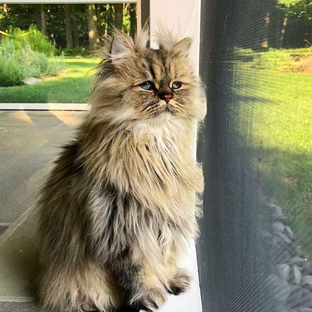 У персидських котів часто бувають примружені очі
