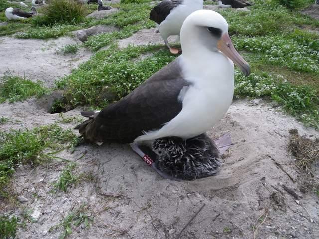 Темноспинный Альбатрос высиживают малышей на атолле Мидуэй