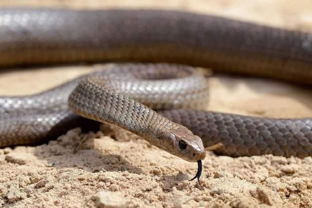 Цей різновид змій є надзвичайно небезпечним
