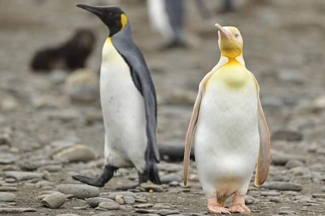 Жовтий пінгвін, якого ви раніше не бачили: фотограф дикої природи зробив неймовірний знімок
