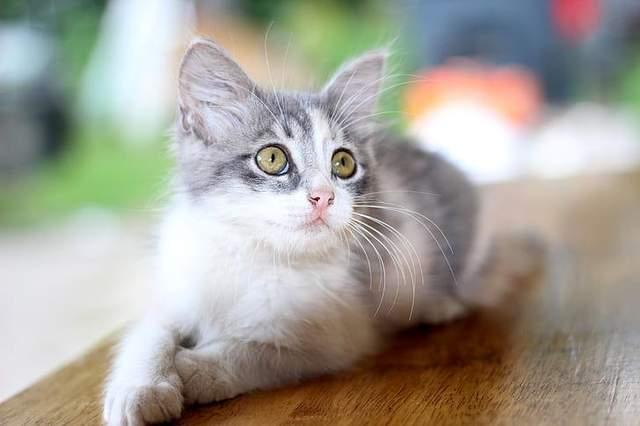У маленьких котят достаточно сложно определить пол