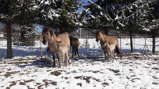 дикі коні-тарпани