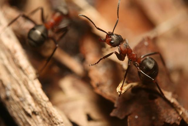 Існують мурахи, які відповідають за температуру в мурашнику
