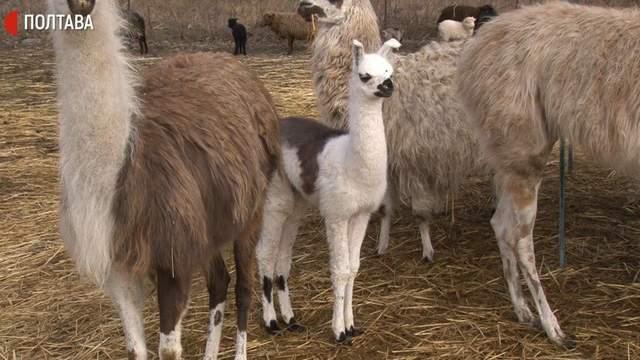 Новорожденная лама вместе со взрослыми животными