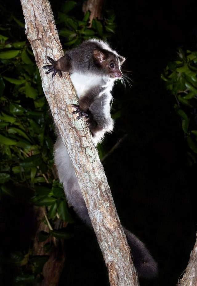 Ночные экскурсии с целью увидеть поссумов могут способствовать спасению этого вида