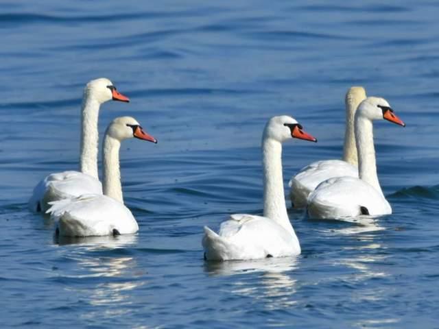 Лебеді можуть важити до 23 кілограмів