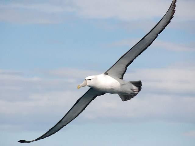 Альбатроси – найбільші з літаючих птахів