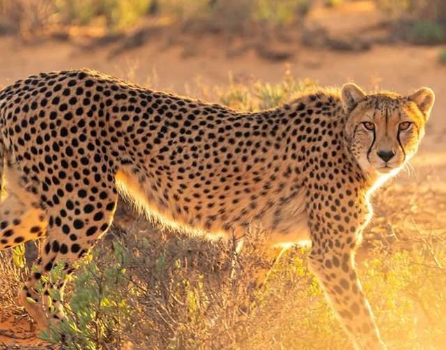 Гепарди