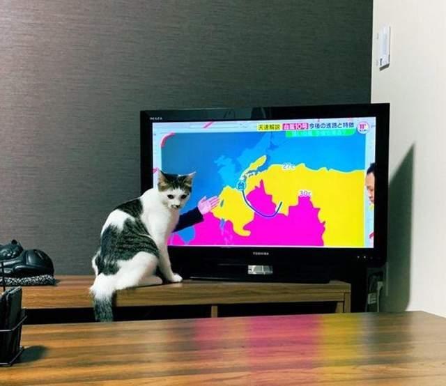 Кіт підпрацьовує ведучим прогноз погоди