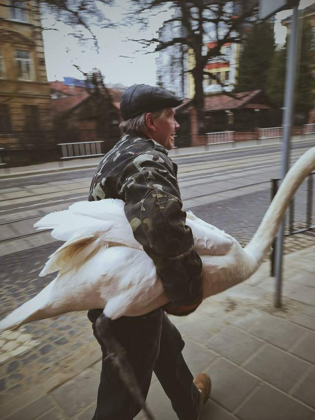 У Львові зі Стрийського парку втік лебідь-шипун – кумедні фото