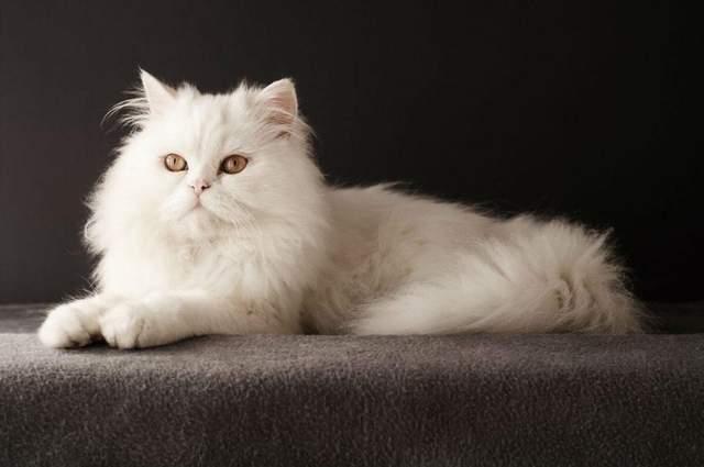 Персидські коти сумують за хазяїном, коли той на роботі