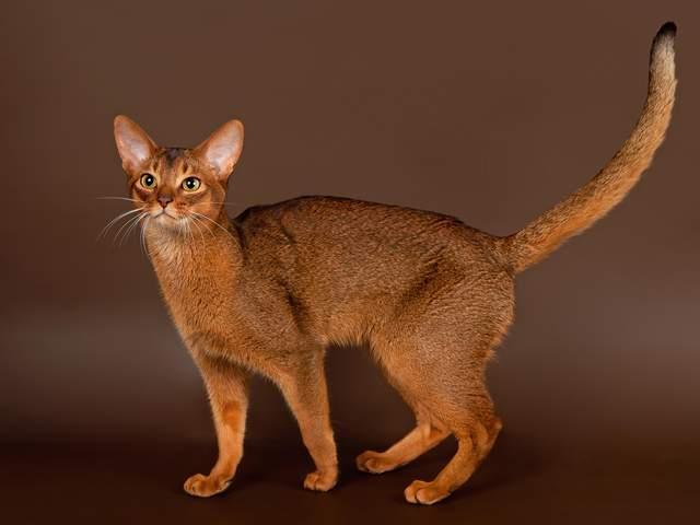 Абіссинська кішка