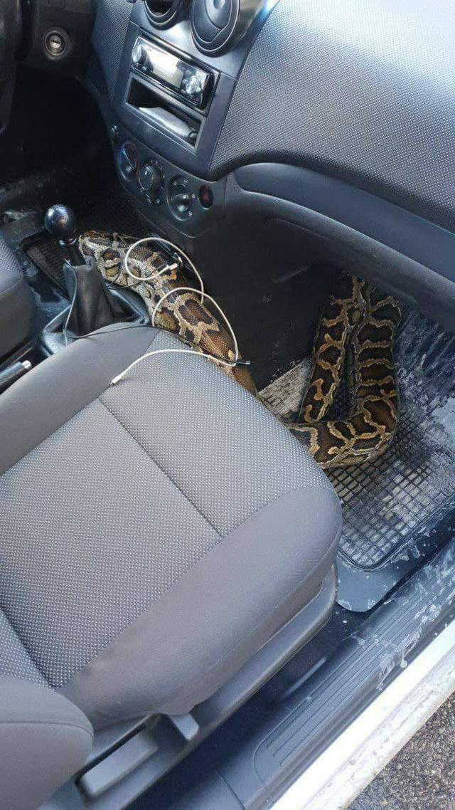 Пітон в машині не на жарт налякав водія