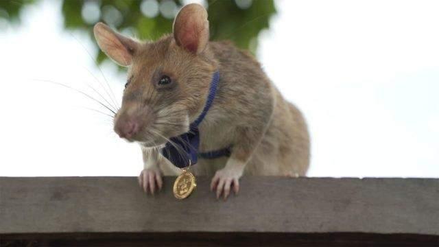 Врятував десятки людей: щур-сапер з Камбоджі отримав медаль і виходить на пенсію
