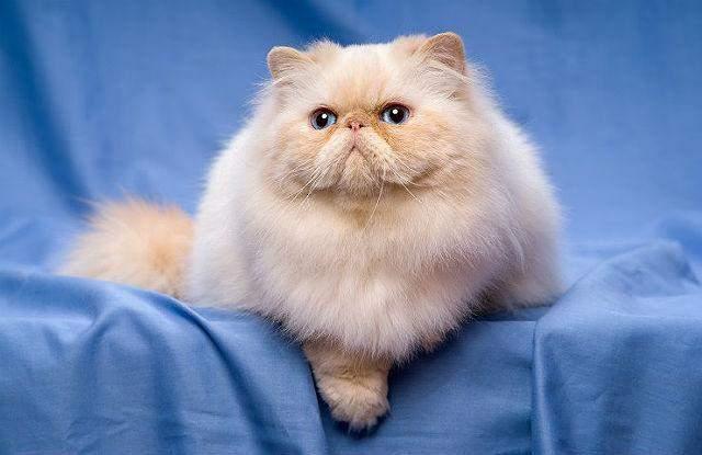 Через свою популярність персидські коти були визнані одними з найдорожчих