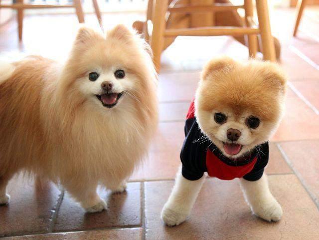 Шпицы очень активные собаки