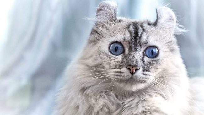 Кішка породи американський керл