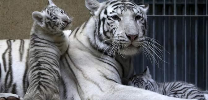 Редкостные белые тигры и обезьянки: в зоопарке в Бердянске произошел бэби-бум – фото, видео