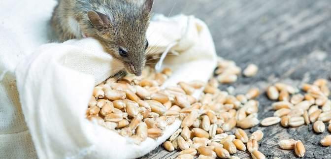 З Держрезерву пропало зерно на 800 мільйонів гривень: скільки для цього треба мишей