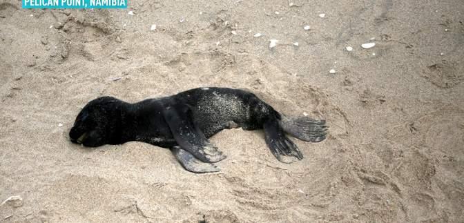 У Намібії шоковані масовою загибеллю дітей морських котиків – пляжі вкриті тисячами тіл: фото