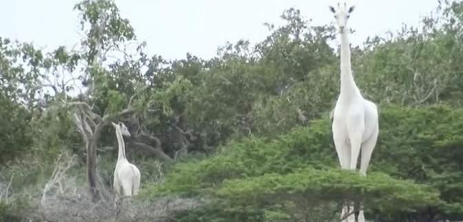 Як за допомогою GPS-трекера від браконьєрів рятують єдиного у світі білого жирафа: фото