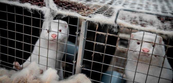 COVID-19 на норковых фермах: во Франции уничтожат тысячи животных