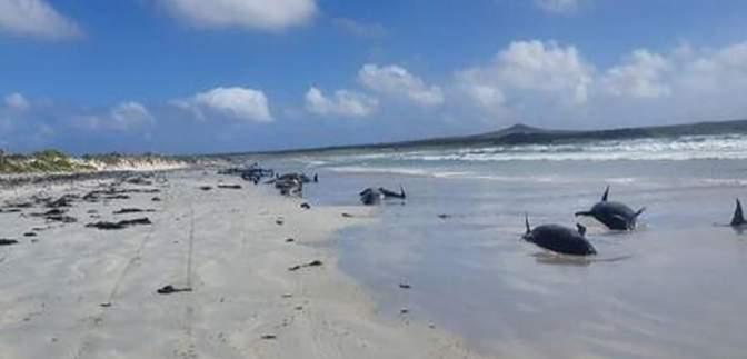 Не вдалося врятувати: на узбережжя Нової Зеландії викинулися 126 дельфінів – фото
