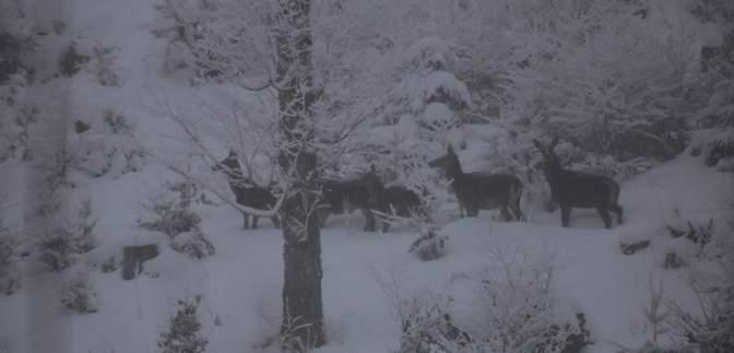 """Мандрівник у Карпатах """"спіймав"""" на камеру стадо оленів: рідкісні кадри"""