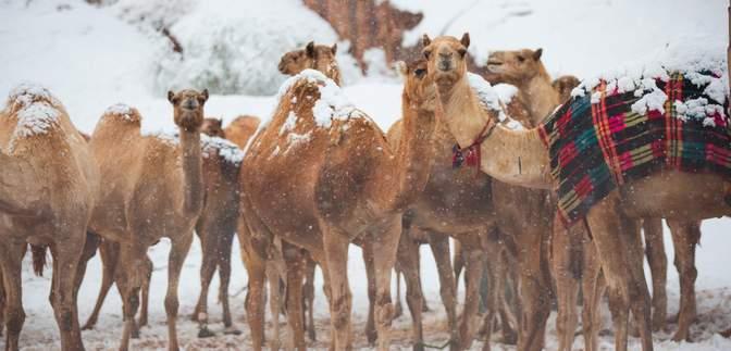 Верблюды в шоке – Саудовскую Аравию засыпало снегом: видео, фото