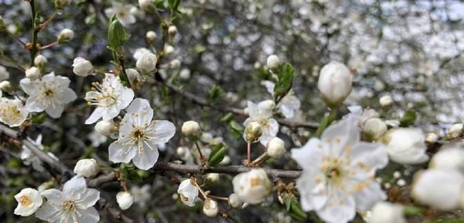 Зима посеред весни: квітучі дерева на Закарпатті вкрило снігом – фото