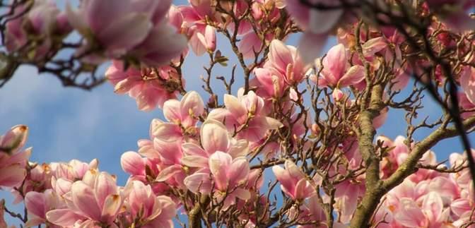 Долина чорних тюльпанів і не тільки: квітучі локації Львівщини, які варто відвідати
