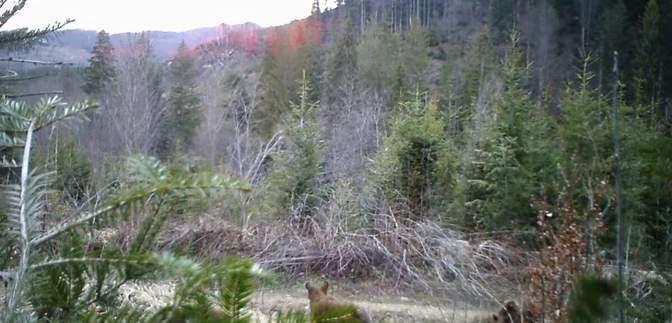 """У Чернівецькій області камера """"упіймала"""" сімейство зникаючих бурих ведмедів: відео"""