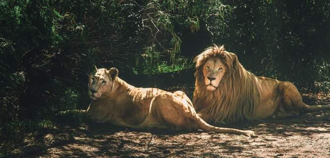 Впервые в зоопарке в Индии сразу 8 львов заболели COVID-19