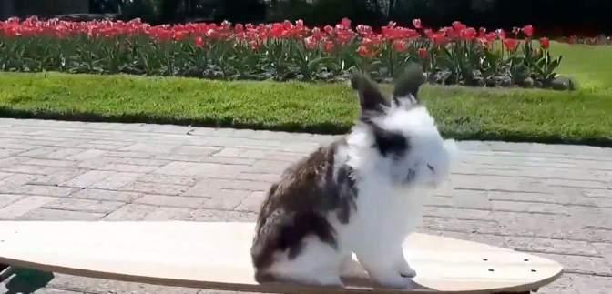 Кролик Кукі їздить на скейтборді та розважає пацієнтів дитячих лікарень: відео