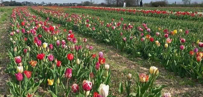 Под Ивано-Франковском расцвело более 2 миллионов тюльпанов: цветные фото