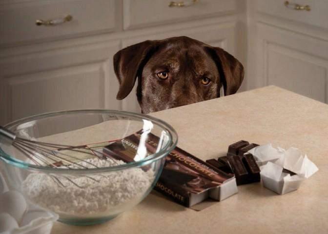 Потрібно ретельно стежити за тим, щоб улюбленець не їв шоколад