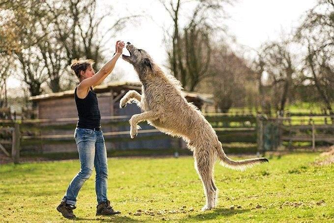 Ці собаки великі, але не надто важкі