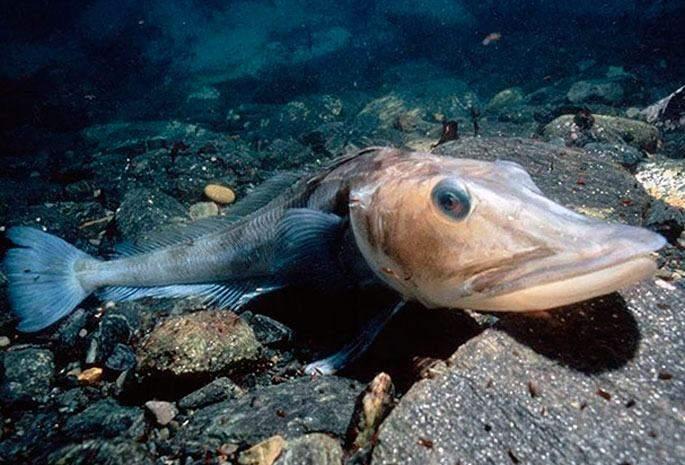 Крижана риба веде повільний спосіб життя