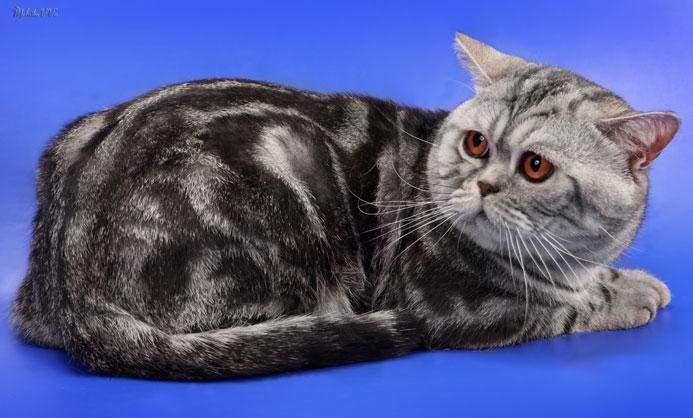 Шотландские вислоухие кошки выглядят наиболее страдающими