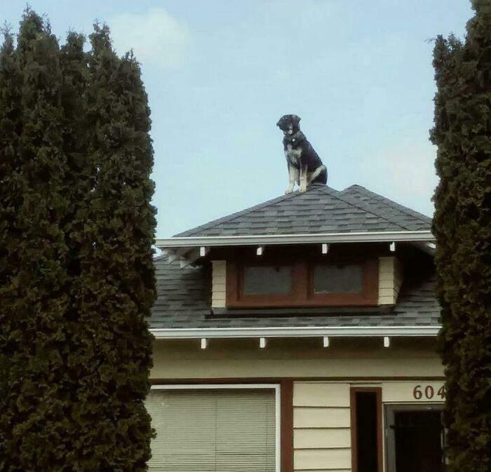 Як цей пес опинився на даху – загадка