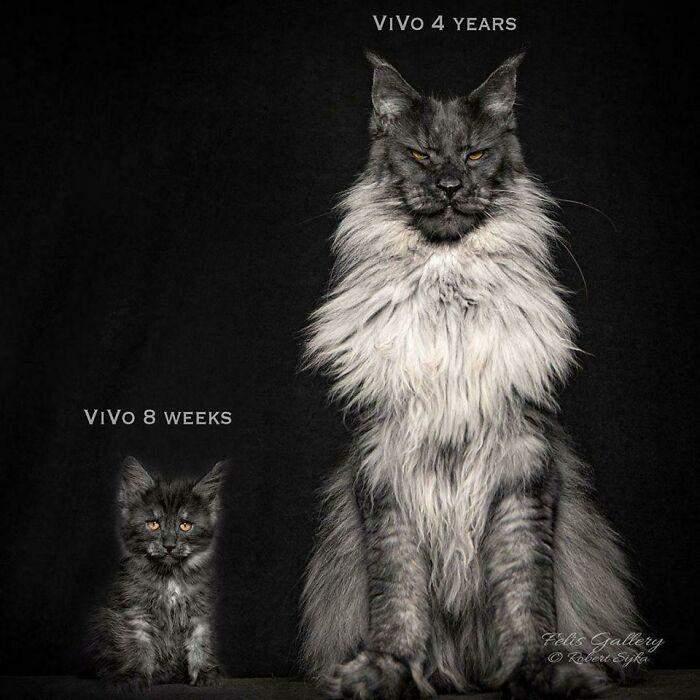 Кот в 8 недель и в 4 года