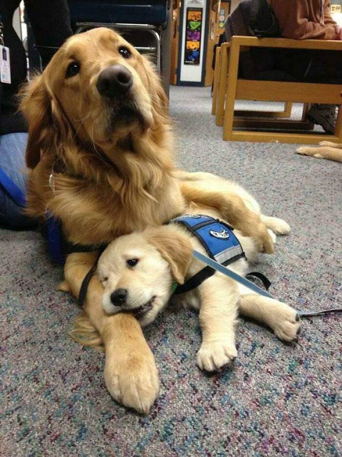 У перший день цей майбутній поліцейський пес прийшов на роботу з мамою