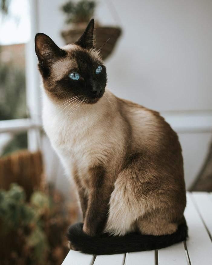 Сіамські коти історія