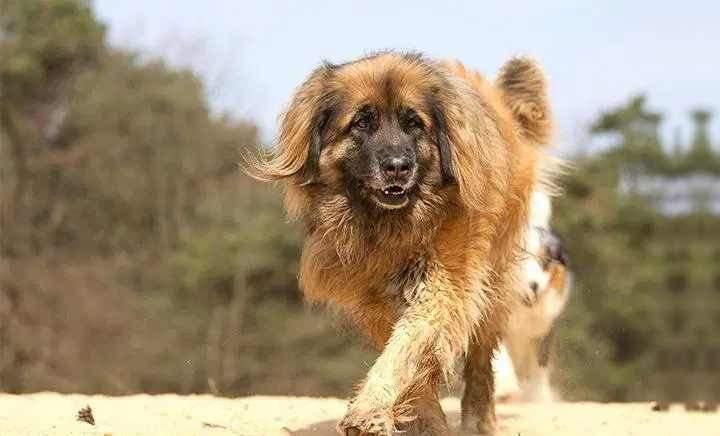 Через великі розміри тривалість життя цих собак досить коротка