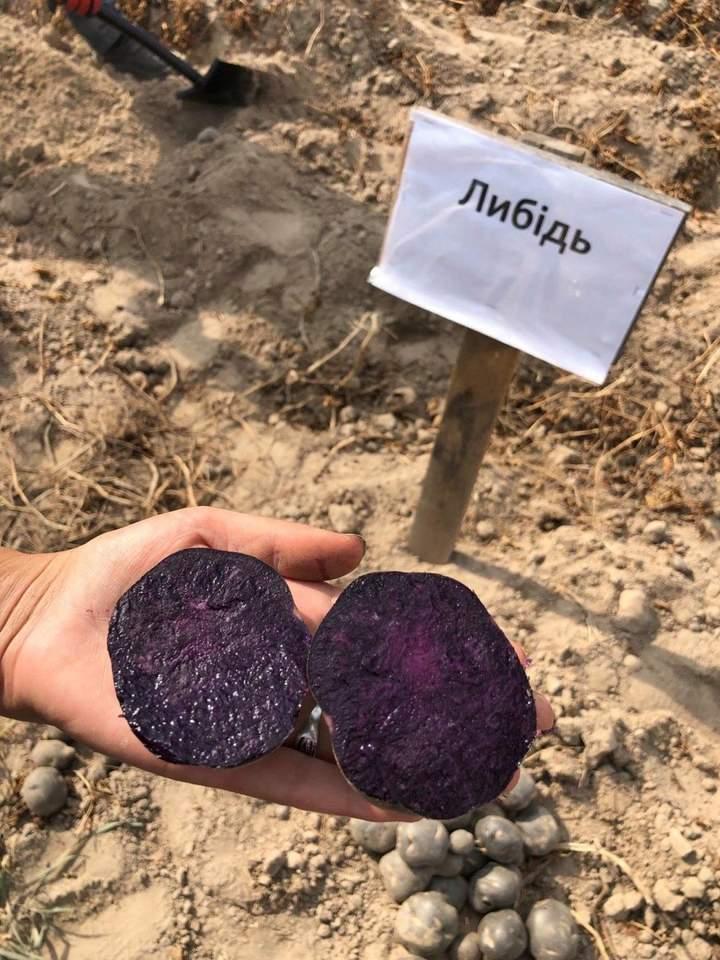 В Україні вивели нові сорти картоплі з фіолетовим та червоним м'якушем