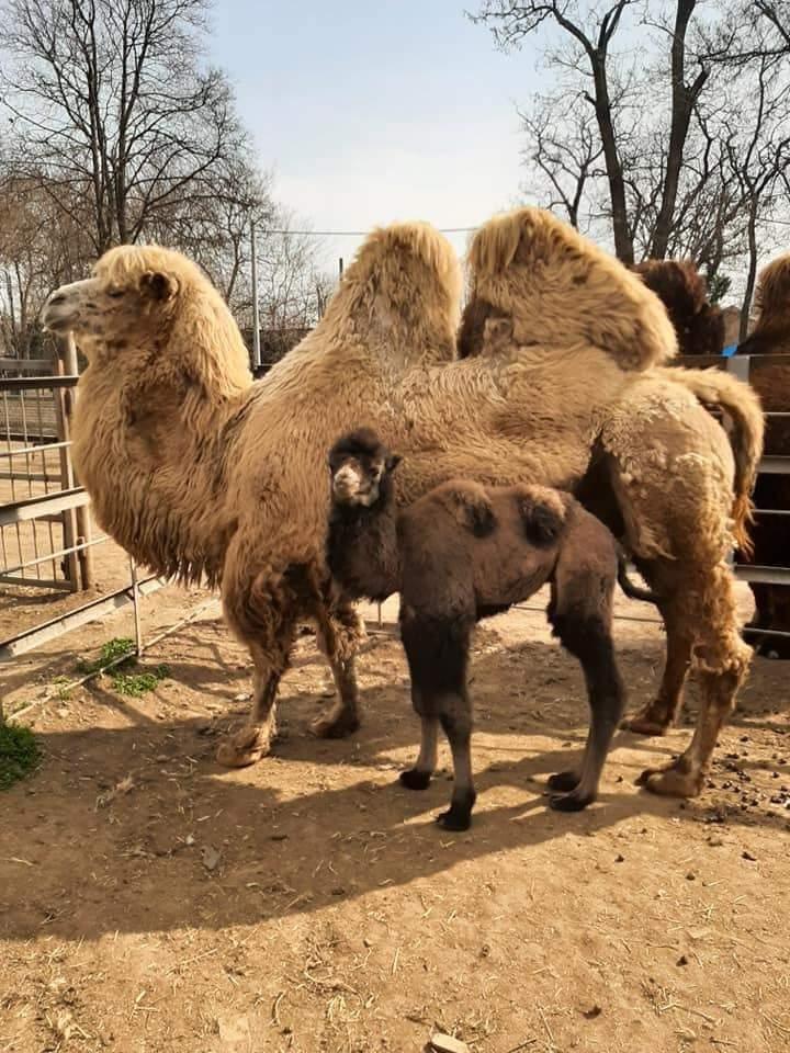 верблюжатко в одеському зоопарку