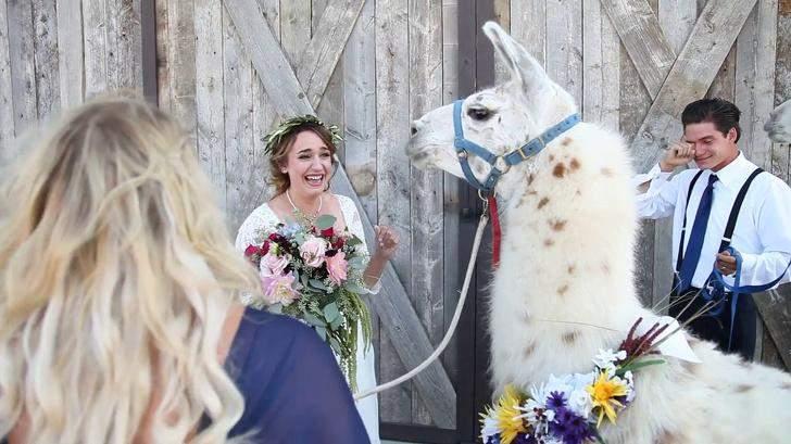 Подружка невесты привела на свадьбу ... ламу!